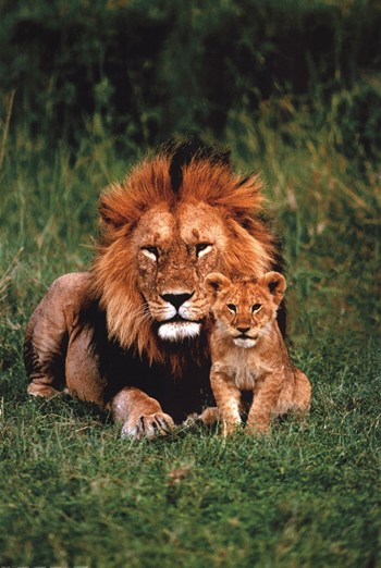 Lion And Baby  Fine-Art Print