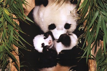 Panda Mother And Baby  Fine-Art Print