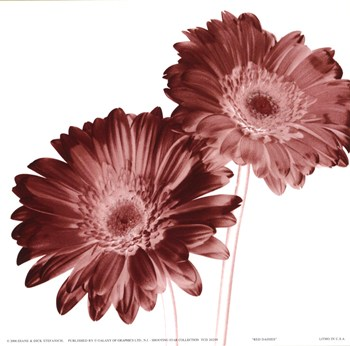 RedDaisies  Fine-Art Print