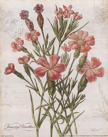 January Dianthus  Fine-Art Print