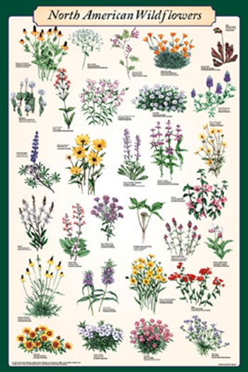 North American Wildflowers  Wall Poster