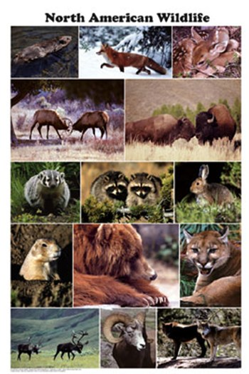 North American Wildlife  Wall Poster