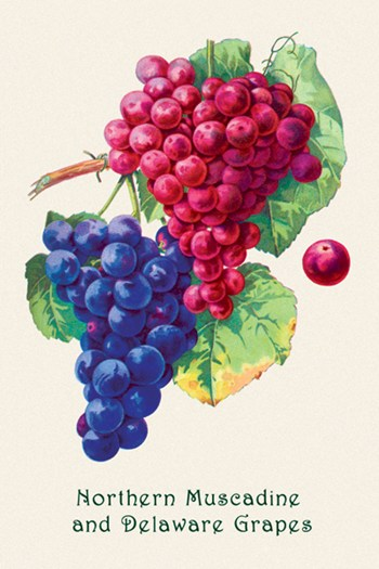 Northern Muscadine and Delaware Grapes  Fine-Art Print