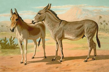 Abyssinian Male and Indian Onager Female  Fine-Art Print