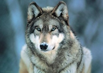 Grey Wolf - WWF  Wall Poster