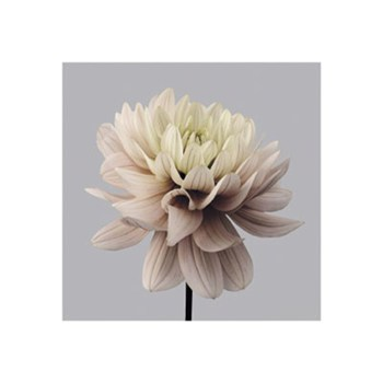 Smooth Dahlia  Fine-Art Print