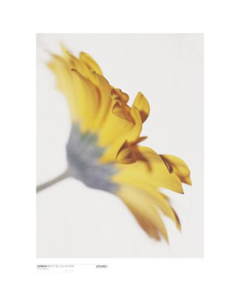 Gerbera, Bright Yellow on White  Fine-Art Print
