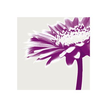 Purple Gerbera  Fine-Art Print