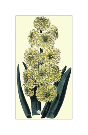 Yellow Ophir Hyacinth  Fine-Art Print