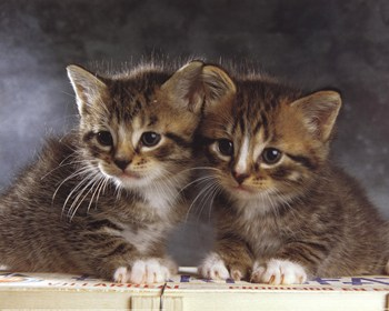 Brother and Sister  FineArt Print  Kittens Art Prints and